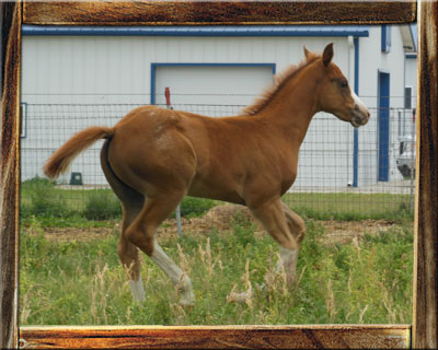 2012 ApHC Filly